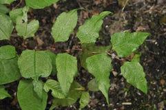 japansk japonica knotweed persicaria Royaltyfria Bilder