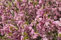 Japansk körsbär för blomning i vår Arkivbild