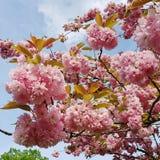 Japansk körsbär för blomning mot blå himmel Fotografering för Bildbyråer
