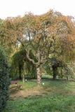 Japansk körsbär i botaniska trädgården royaltyfri foto