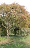 Japansk körsbär i botaniska trädgården royaltyfria bilder