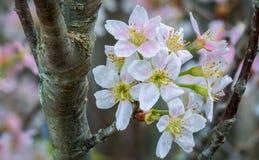 Japansk körsbär (Sakura) Arkivbild