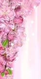 Japansk körsbärsröd blomning Royaltyfri Fotografi