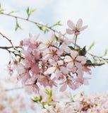 Japansk körsbärsröd blomning Arkivbilder