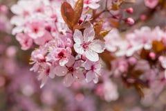 Japansk körsbärsröd blomning i trevligt soligt väder Royaltyfria Bilder