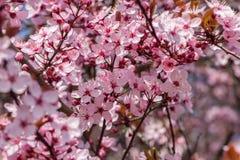 Japansk körsbärsröd blomning i trevligt soligt väder Arkivfoton