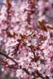 Japansk körsbärsröd blomning i trevligt soligt väder Royaltyfria Foton