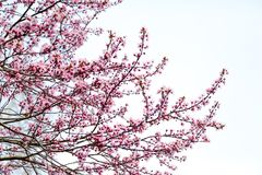 Japansk körsbärsröd blomning i trevligt soligt väder Arkivbilder