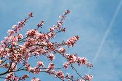 Japansk körsbärsröd blomning i trevligt soligt väder Royaltyfri Bild