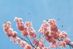 Japansk körsbärsröd blomning i trevligt soligt väder och några bin Royaltyfri Foto