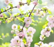 Japansk körsbärsröd blomning, vårblom, i mjuk fokus Arkivfoto