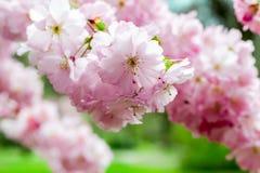 Japansk körsbärsröd närbild Royaltyfria Bilder