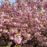 Japansk körsbärsröd oavkortad blom Royaltyfria Foton