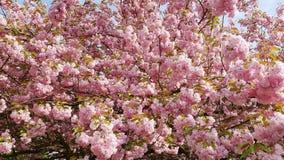 Japansk körsbärsröd oavkortad blom Arkivbilder