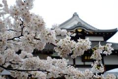Japansk k?rsb?rsr?d treeblomning fotografering för bildbyråer