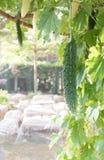 Japansk kalebass Royaltyfria Foton