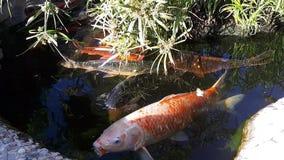 Japansk karp i dammet, större fisk i dammet, dekorativt damm Den dekorativa ljusa fisken svävar i ett damm arkivfilmer