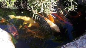 Japansk karp i dammet, större fisk i dammet, dekorativt damm Den dekorativa ljusa fisken svävar i ett damm lager videofilmer