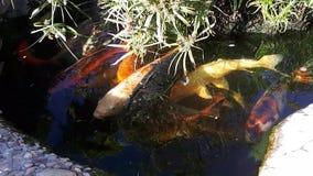 Japansk karp i dammet, större fisk i dammet, dekorativt damm Den dekorativa ljusa fisken svävar i ett damm stock video