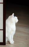 Japansk katt i meditation Arkivfoton