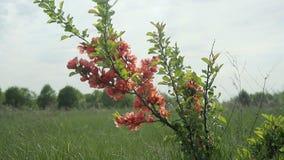 Japansk kvitten Bush med blommor som står i fältet och svänger i vinden arkivfilmer
