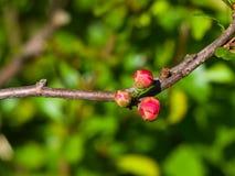 Japansk kvitten, Chaenomelesjaponica, blommaknoppar på filialmakroen, selektiv fokus, grund DOF Arkivbild
