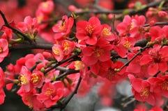 Japansk kvitten för blomning Royaltyfri Bild