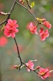 Japansk kvitten för blomning Arkivfoton