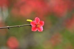 Japansk kvitten för blomning Royaltyfri Fotografi