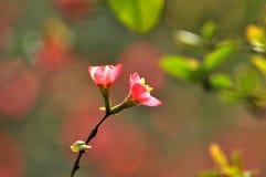 Japansk kvitten för blomning Arkivbild
