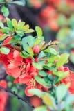 Japansk kvitten med orange blommor Arkivfoto