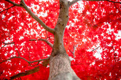 Japansk lönn under nedgång i trädgård Fotografering för Bildbyråer