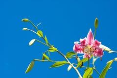 japansk lilja Arkivfoton