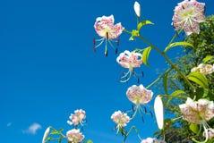 japansk lilja Arkivbild