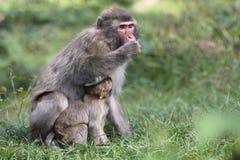 japansk macaque Arkivfoto