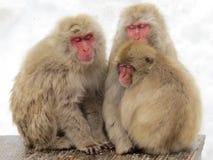 japansk macaque Royaltyfri Foto