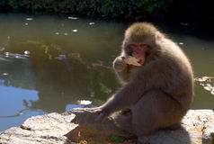 japansk macaque Royaltyfria Foton