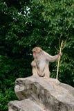 japansk macaque Royaltyfri Bild