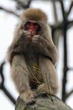 japansk macaque Royaltyfria Bilder