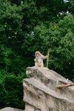 japansk macaque Arkivfoton