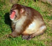 japansk macaque Arkivbilder