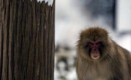 Japansk macaque eller snöapa, Macacafuscata som ser rak på kameran arkivbilder