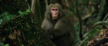 Japansk macaque för apa fotografering för bildbyråer