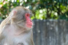 Japansk macaque för apastående i horisontalformat Royaltyfria Foton
