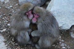 Japansk Macaque i Nagano Royaltyfria Bilder
