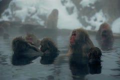 Japansk Macaque i Nagano Arkivbild