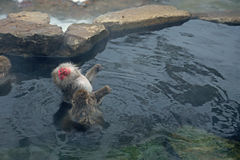 Japansk Macaque i Nagano Royaltyfri Fotografi