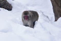 Japansk Macaque i snö Royaltyfri Foto