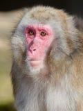 Japansk Macaque (Macacafuscataen) Royaltyfri Foto