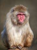 Japansk Macaque (Macacafuscataen) Royaltyfri Fotografi